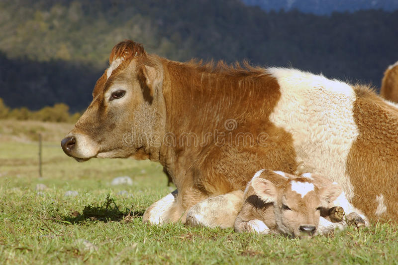Neugeborenes Kalb stockfoto