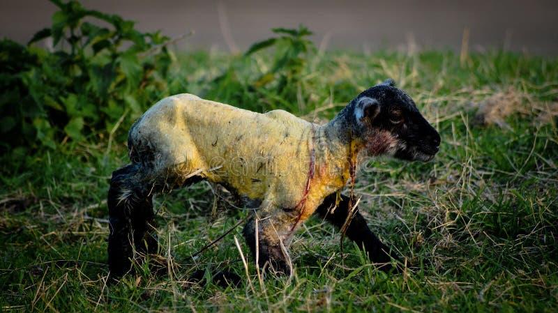 Neugeborenes Lamm stockfoto
