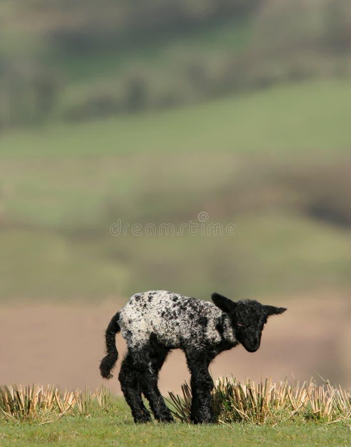 Neugeborenes schwarzes Lamm stockfoto