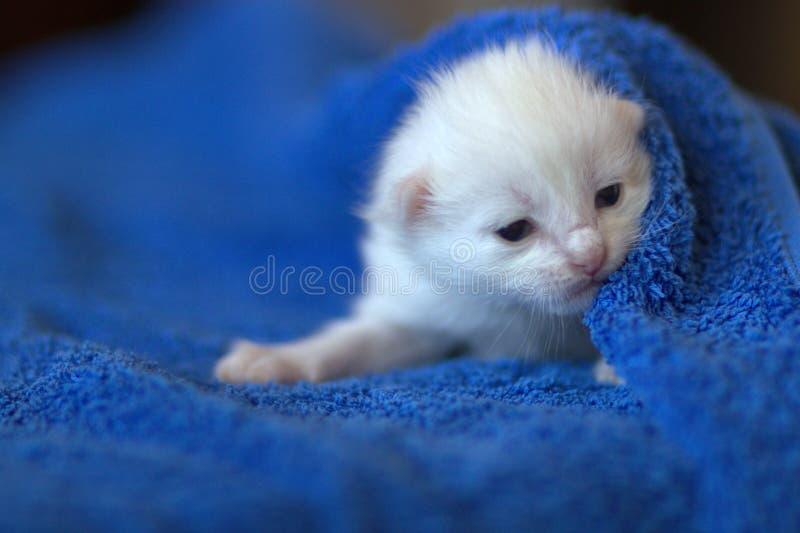 Neugeborenes weißes Kätzchen lizenzfreie stockbilder