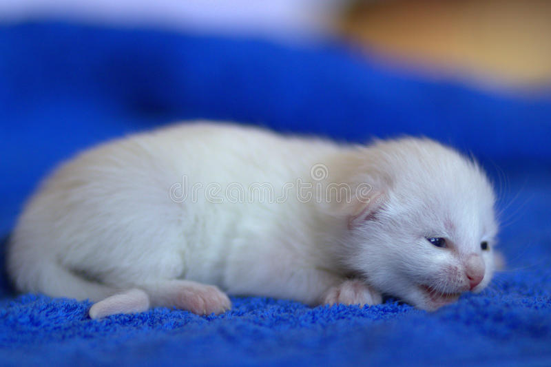 Neugeborenes weißes Kätzchen lizenzfreies stockbild