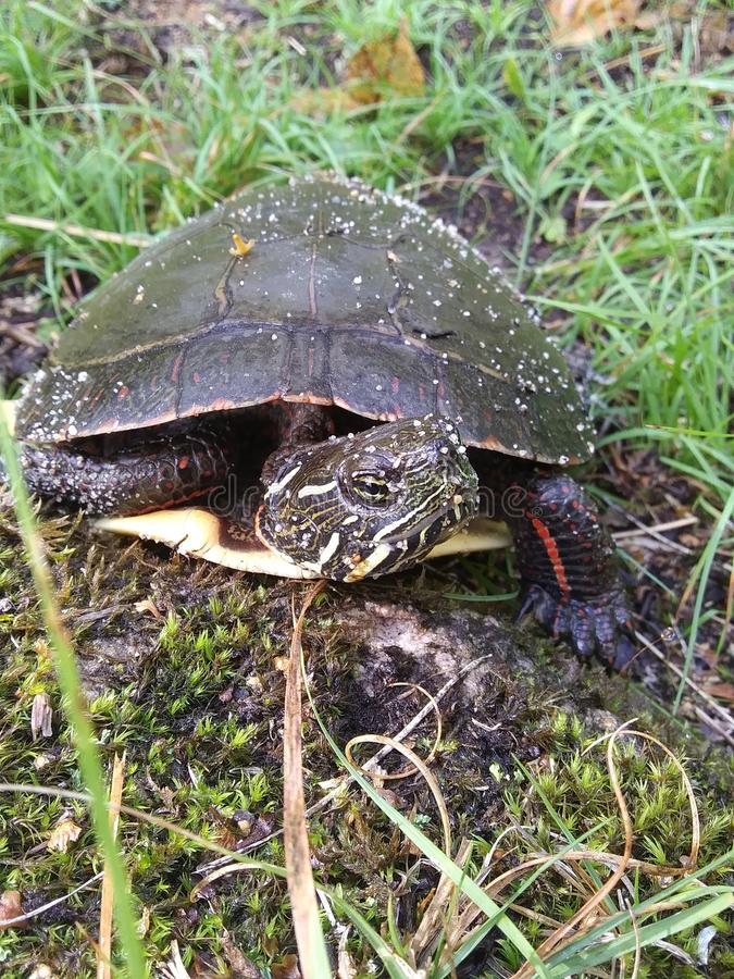 Neugierig aussehende Schildkröte stockfoto