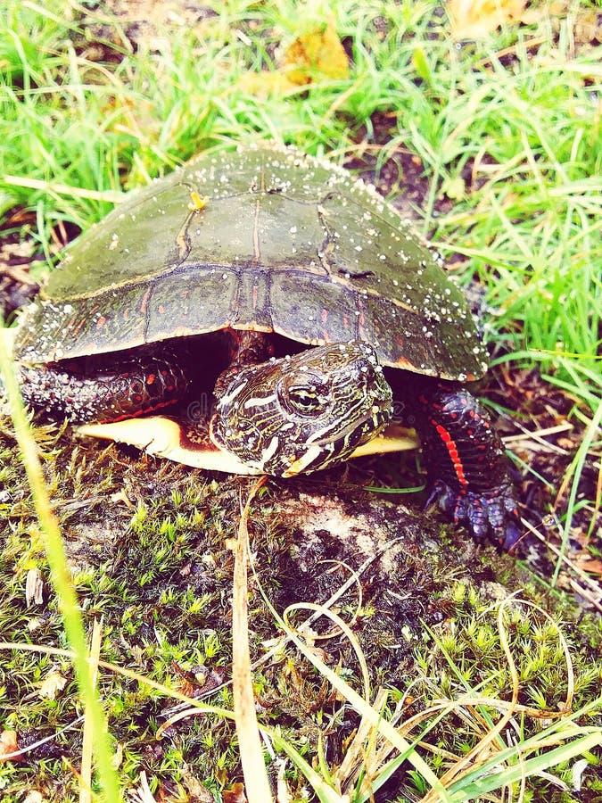 Neugierig aussehende Schildkröte stockfotos