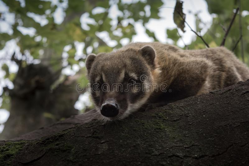 Neugierige Coatigleiche über Treetopstange lizenzfreie stockfotografie