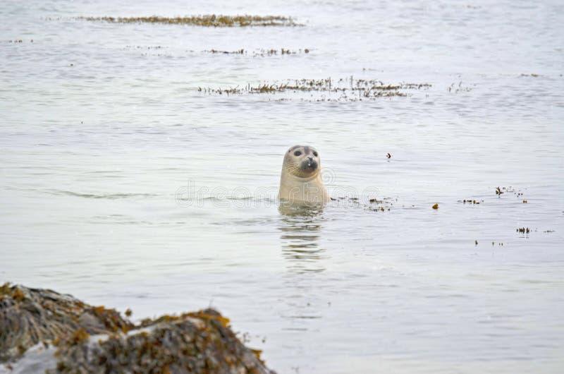 Neugierige Dichtung Westküstenstrand Island stockfotografie