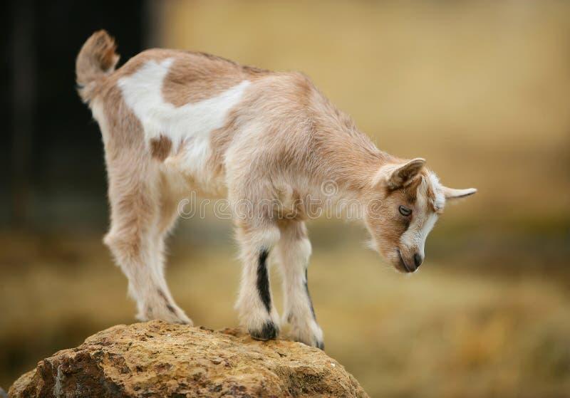 Neugierige junge Ziege auf dem Felsen stockbild