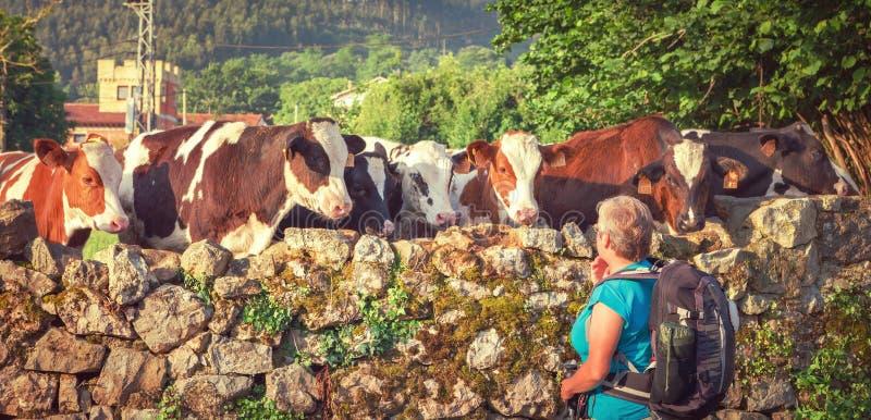 Neugierige Kühe nähern sich dem Zaun, um den Pilger zu beobachten, der geht stockfoto