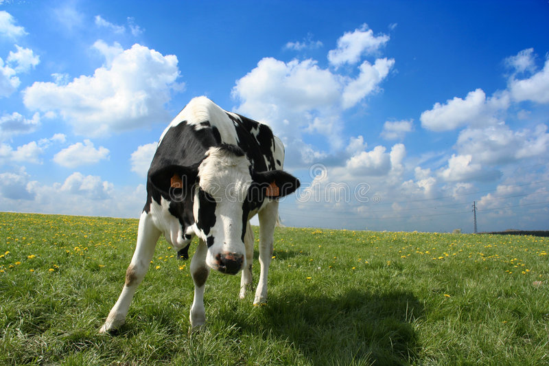 Neugierige Kuh stockbilder