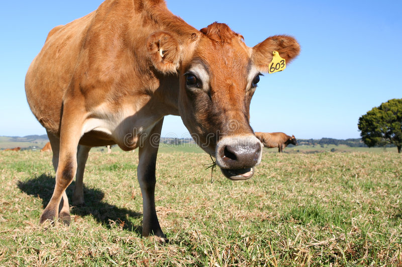 Neugierige Kuh lizenzfreies stockbild