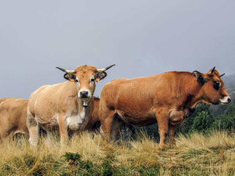 Neugierige Kuh, welche die Kamera betrachtet stockfotos