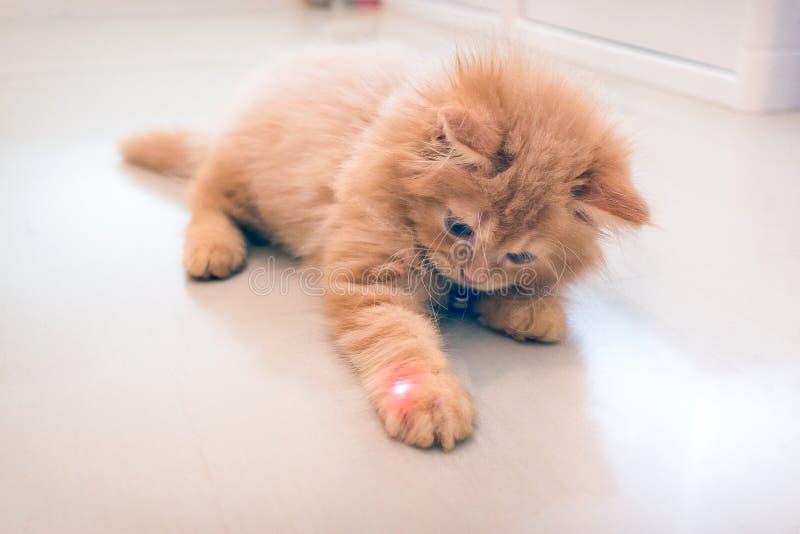 Neugierige orange Kitten Plays mit einem roten Punkt von einem Laser-Zeiger stockbild