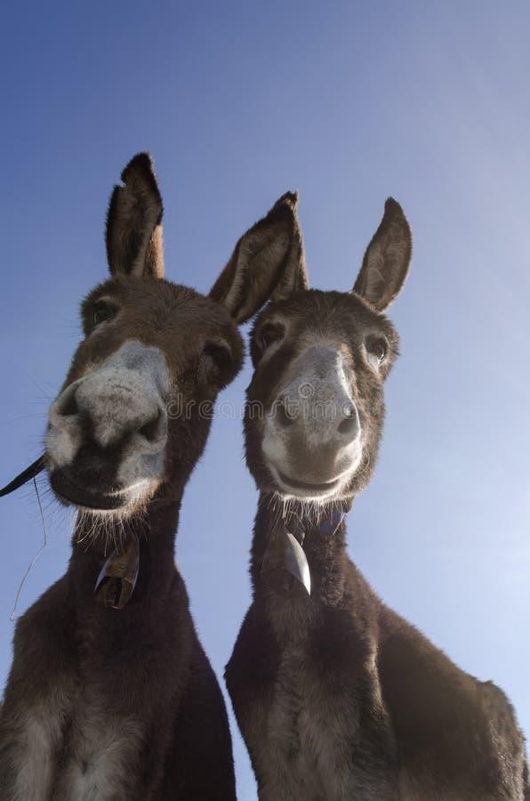 Neugierige Paare Esel stockfotografie