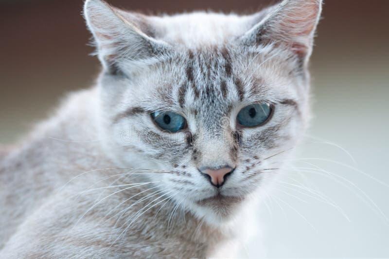 Neugierige reizende graue gestreifte Katze mit blauen Augen stockfotografie