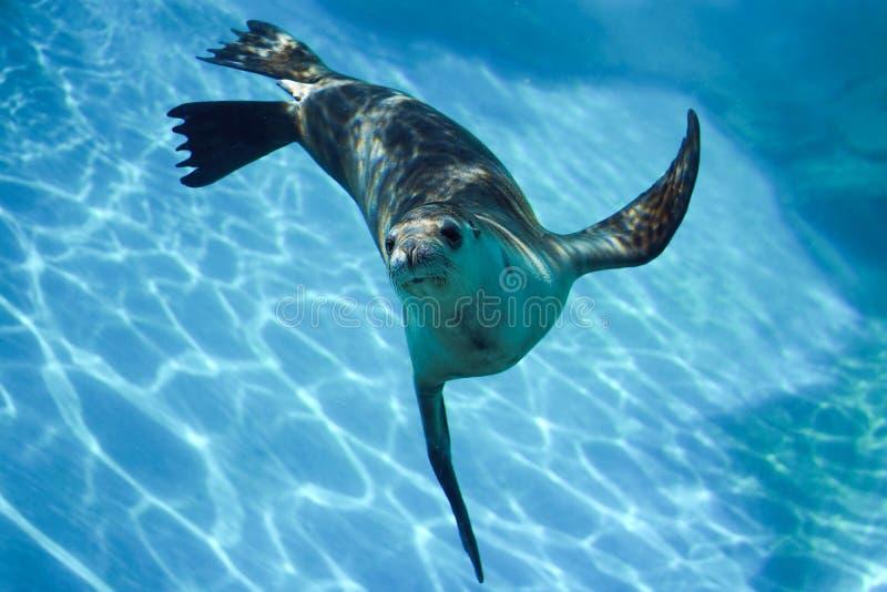 Neugierige Robbe, die unter Wasser schwimmt lizenzfreies stockbild
