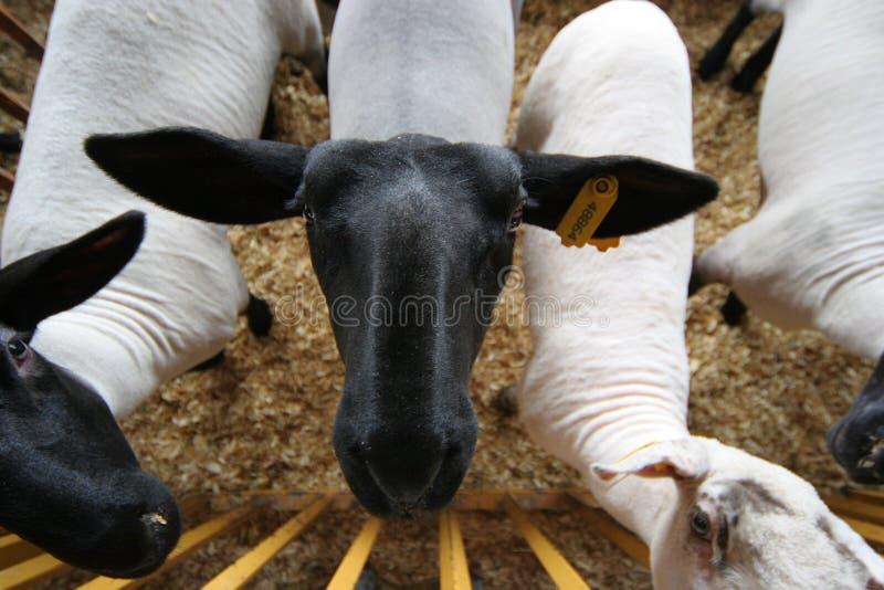 Neugierige Schafe stockbild