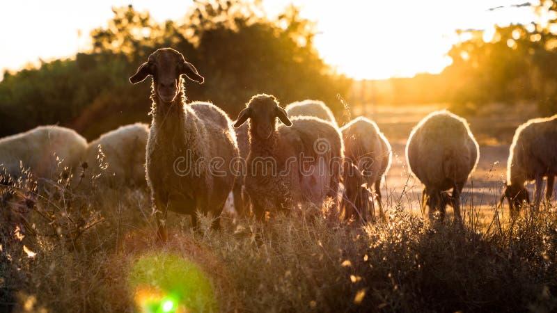 Neugierige Schafe lizenzfreies stockfoto