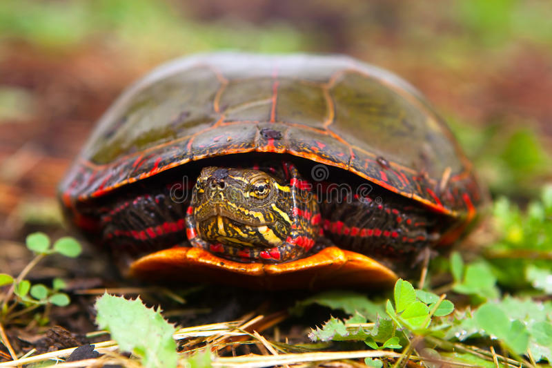 Neugierige Schildkröte späht Kopf vom Shell lizenzfreie stockfotografie