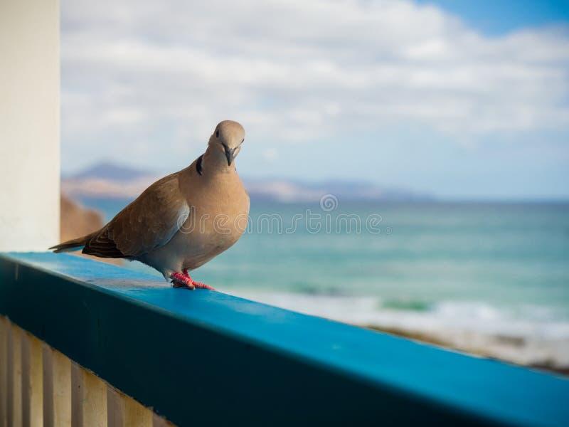 Neugierige Taube durch das Meer lizenzfreies stockfoto