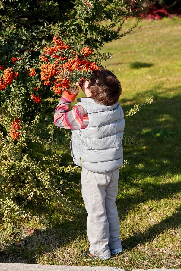 Neugierige vier Jahre alte Junge riecht die Vogelbeeren auf der Gebirgsesche im Garten in der Herbstzeit stockbilder