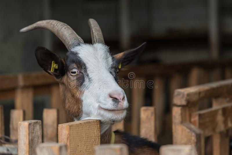 Neugierige Ziege in der Ziegenhalle lizenzfreie stockfotos