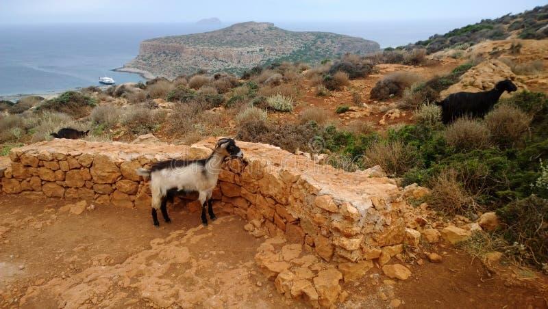 Neugierige Ziegen auf dem Berg bei Balos bellen im wolkigen Wetter lizenzfreie stockfotos