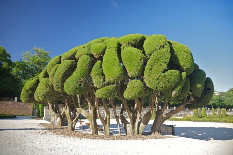 Neugieriger Baum im Madrid-Park lizenzfreie stockfotos