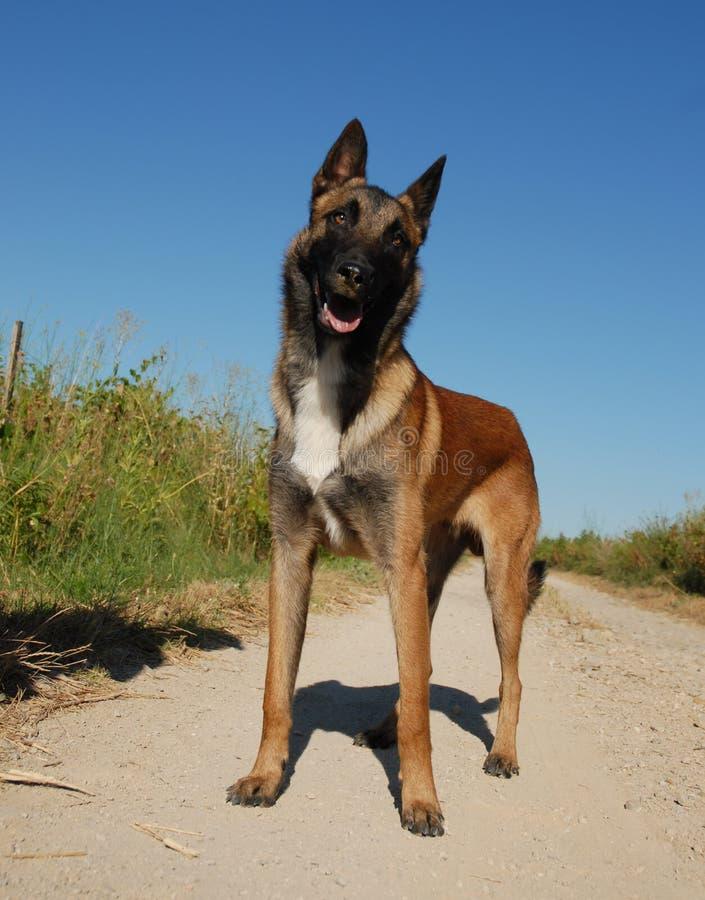 Neugieriger belgischer Schäferhund stockbilder