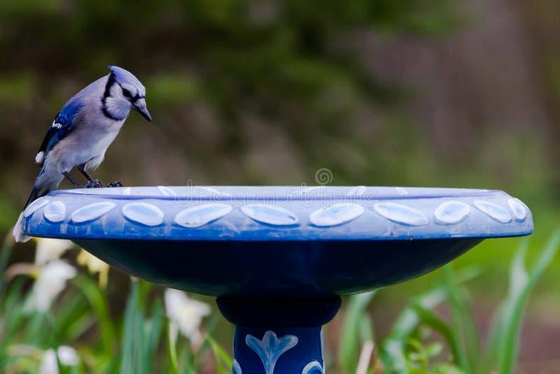 Neugieriger blauer Jay Cyanocitta Cristata am Vogel-Bad im Frühjahr lizenzfreies stockfoto