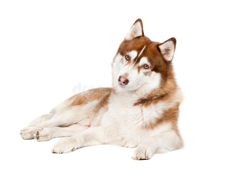 Download Neugieriger Blick Des Sibirischen Schlittenhunds Hunde Stockfoto - Bild von kopf, länge: 27728726