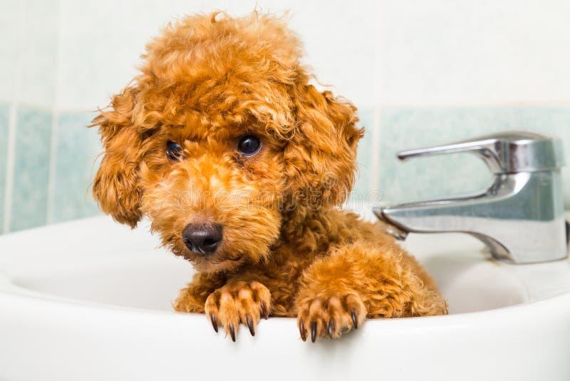 Neugieriger brauner Pudelwelpe, der zum Bad im Becken fertig wird lizenzfreie stockbilder