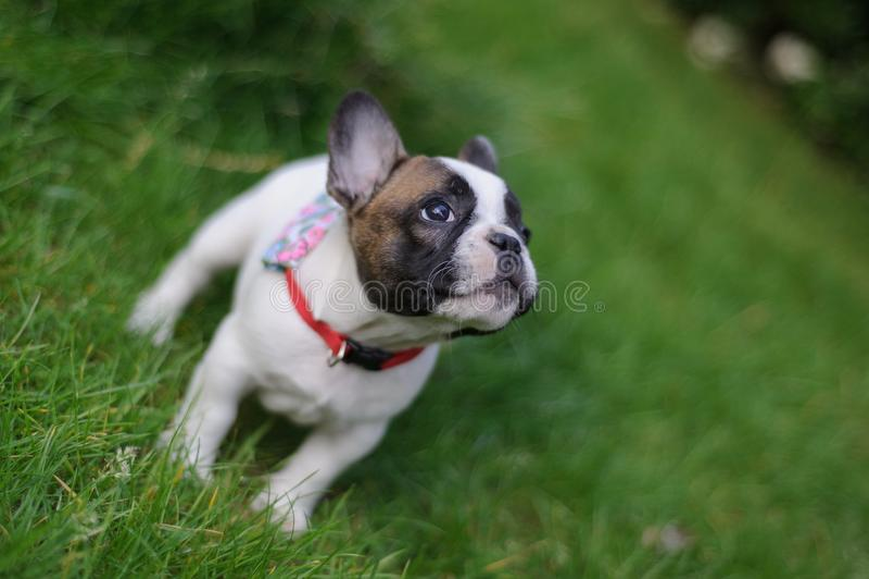 Neugieriger Bulldoggenwelpe, der oben lookuing ist stockfotografie