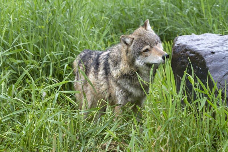 Neugieriger erwachsener Grey Wolf im hohen Gras stockfotos