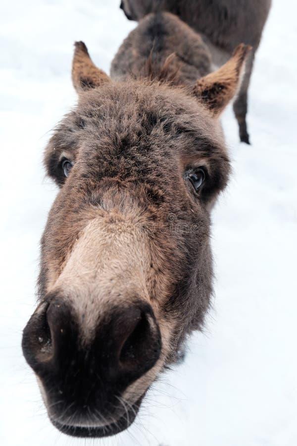 Neugieriger Esel im Schnee, der oben in der Kamera schaut lizenzfreie stockbilder