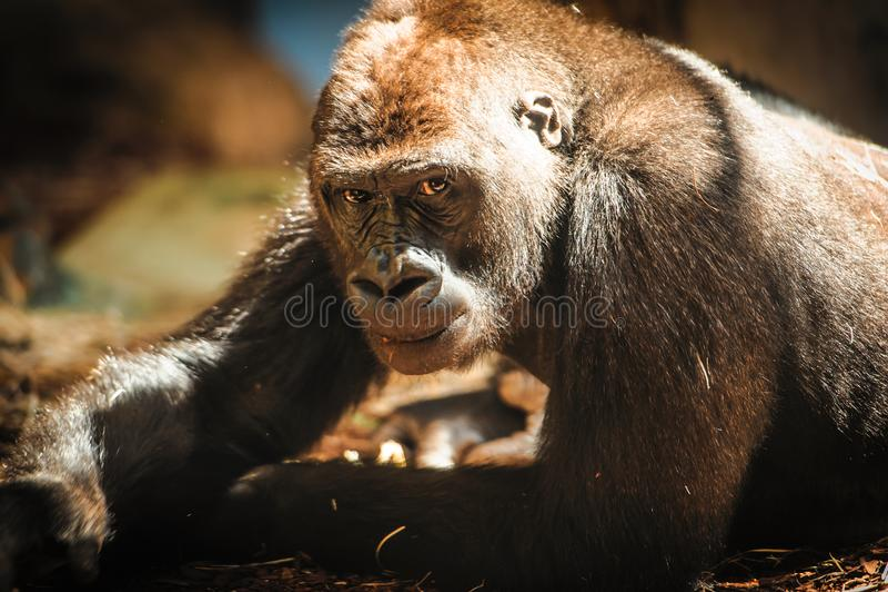 Neugieriger Gorilla, der entlang der Kamera anstarrt stockfotografie