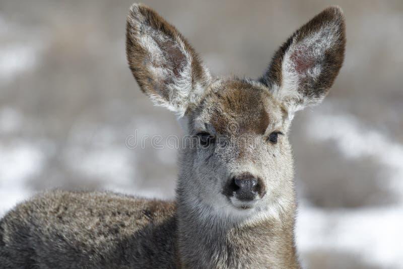 Neugieriger junger weiblicher Maultierhirsch findet Lebensmittel während des Winters in Colorado lizenzfreie stockbilder