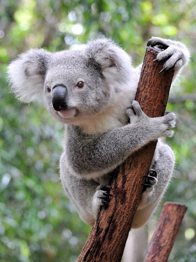 Neugieriger Koala lizenzfreies stockfoto
