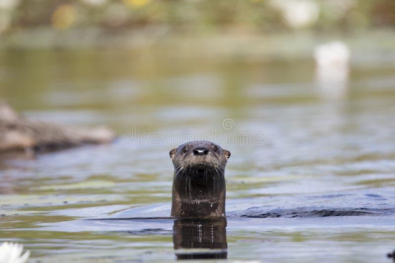 Neugieriger Otter stockbilder
