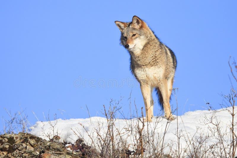 Neugieriger schauender Kojote stockbild