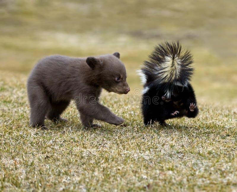Neugieriger schwarzer Bär (Ursus americanus) und gestreiftes Stinktier stockfoto