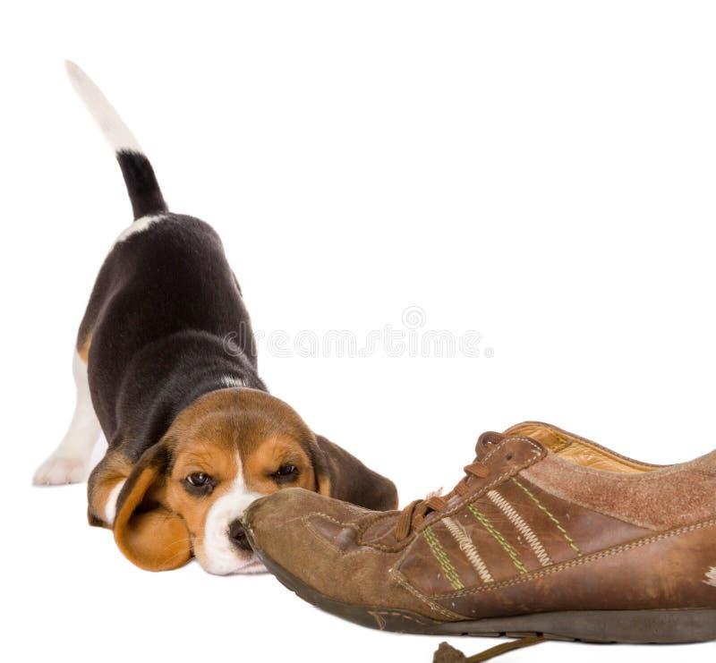 Neugieriger Spürhundwelpe stockbilder