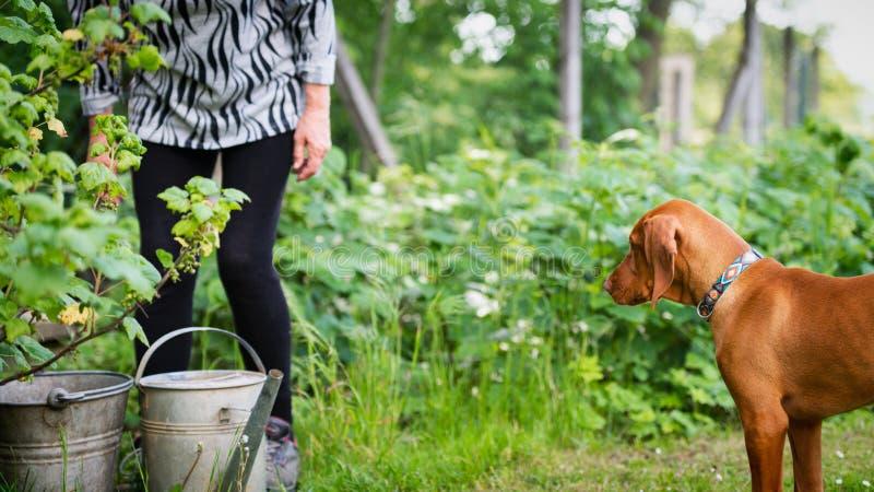 Neugieriger vizsla Welpe mit ?lterer Frau im Garten Hund, der seine Eigent?merfirma h?lt, w?hrend sie im Garten arbeitet lizenzfreie stockbilder