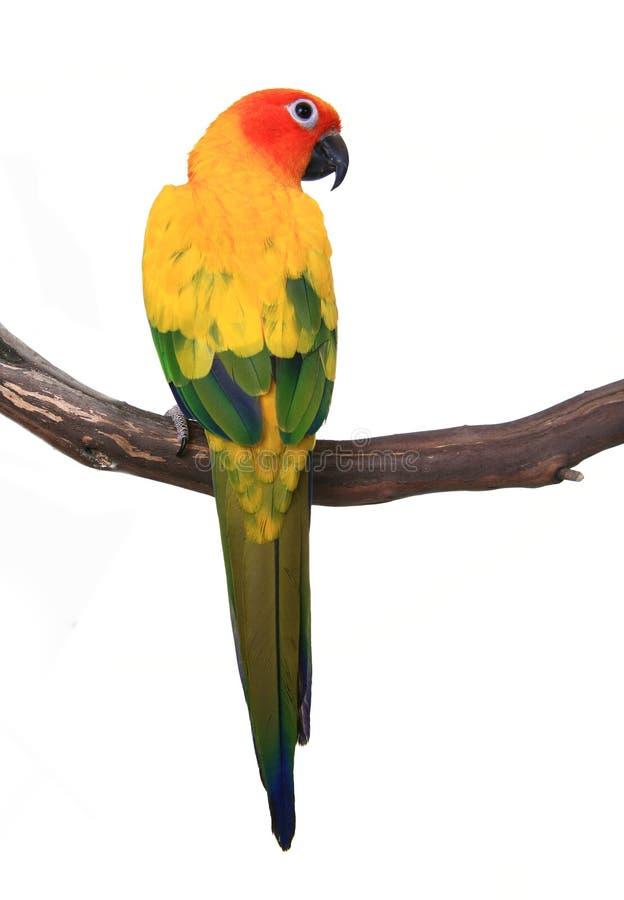 Neugieriger Vogel Sun-Conure