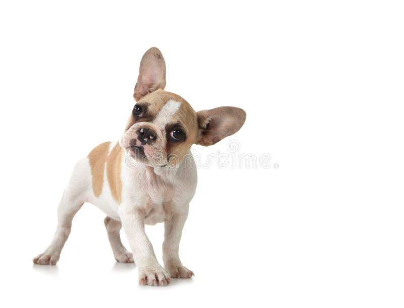 Neugieriger Welpen-Hund mit Exemplar-Platz lizenzfreie stockfotos