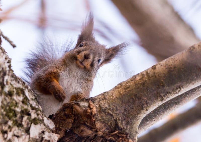 Neugieriges Eichhörnchen lizenzfreies stockfoto