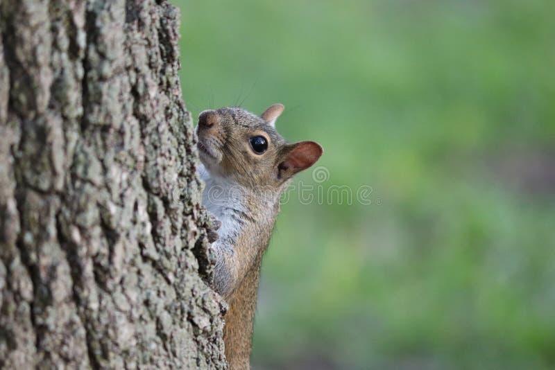 Neugieriges Eichhörnchen, das heraus von hinten einen Baumstamm schaut stockfotos