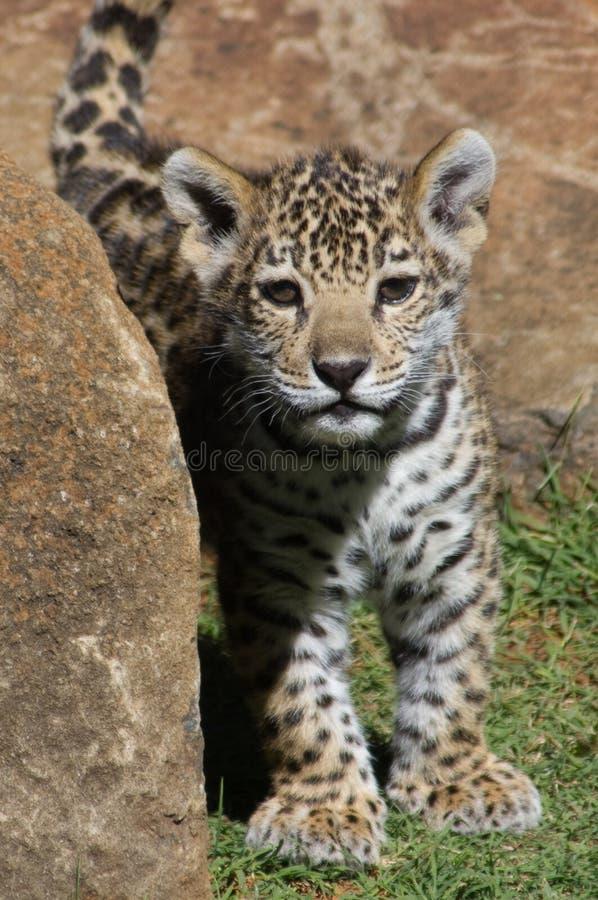 Neugieriges Jaguarjunges stockbild