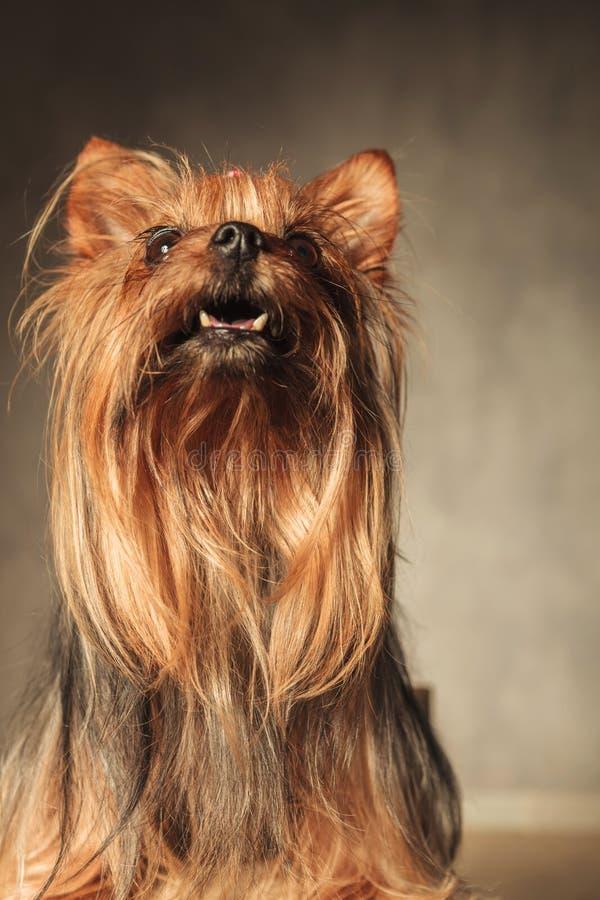 Neugieriges kleines Yorkshire-Terrierhündchen, das oben schaut stockfotografie