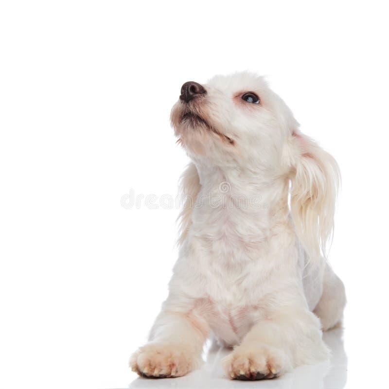 Neugieriges liegendes weißes bichon schaut oben, um mit Seiten zu versehen lizenzfreie stockfotos