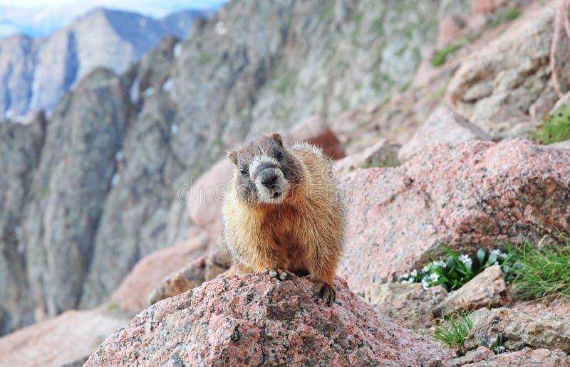Neugieriges Murmeltier, Rocky Mountains stockbilder
