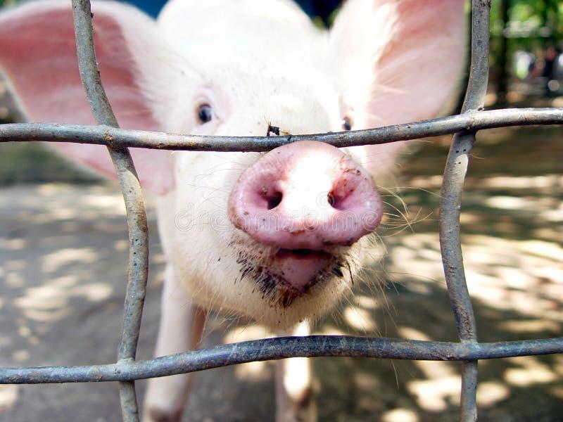 Neugieriges Schwein Lizenzfreies Stockfoto